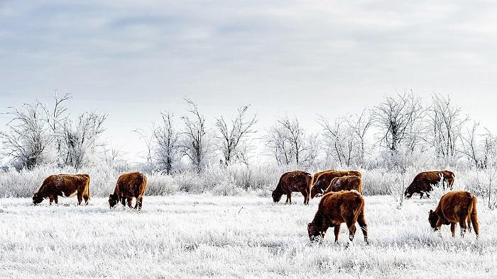 Степные коровы в зимой