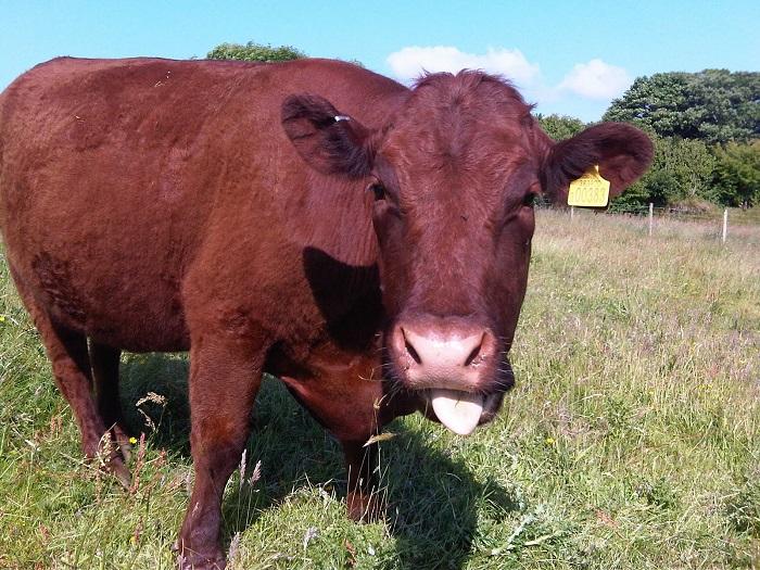 Корова показывает язык