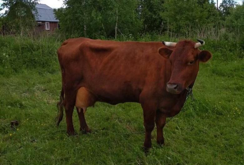 Особенность красной горбатовской коровы