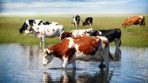 Особенности коров дойного характера