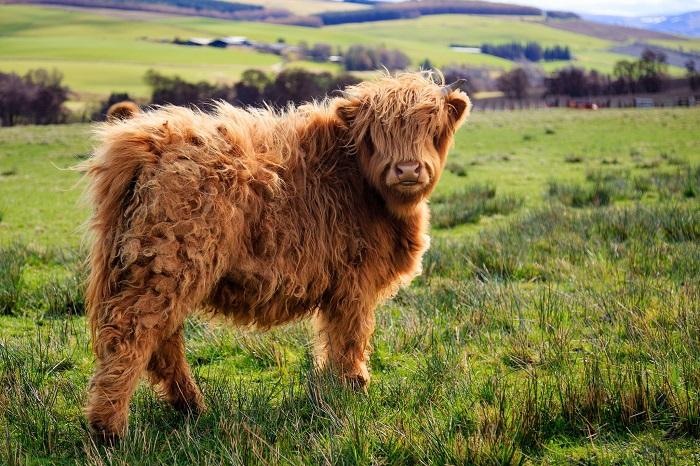 Мини корова Хайленд