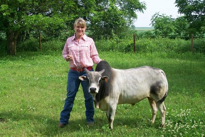 Мини корова Зебу