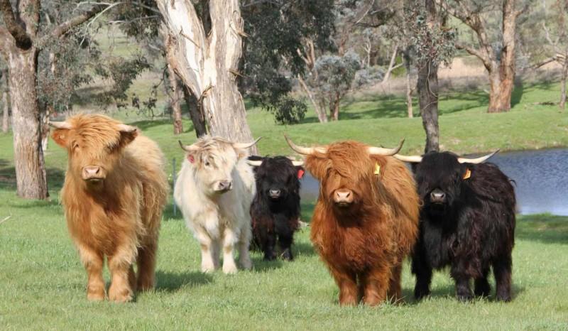 Карликовые коровы