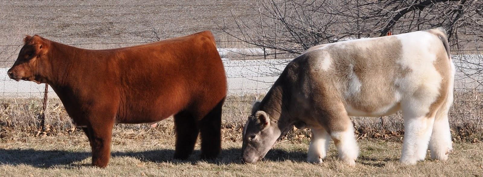 Мохнатые коровы гуляют