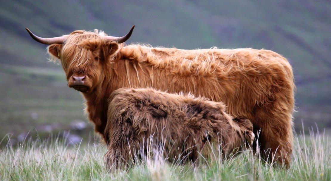 Корова хайленд и теленок