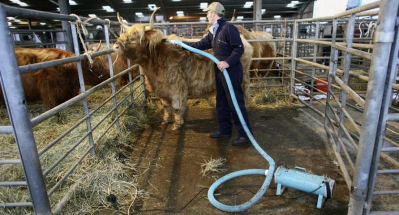 Пылесосят шотландскую корову
