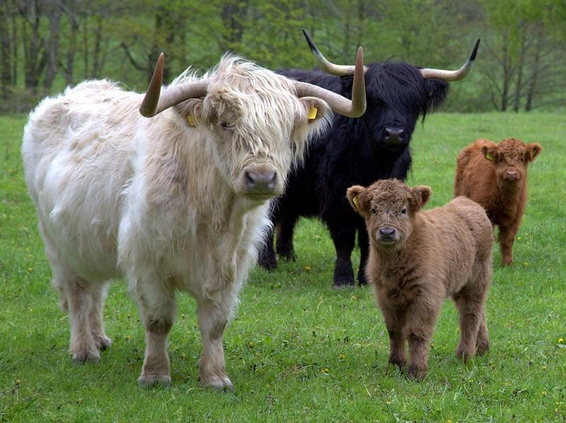 Шотландские длинношерстные коровы