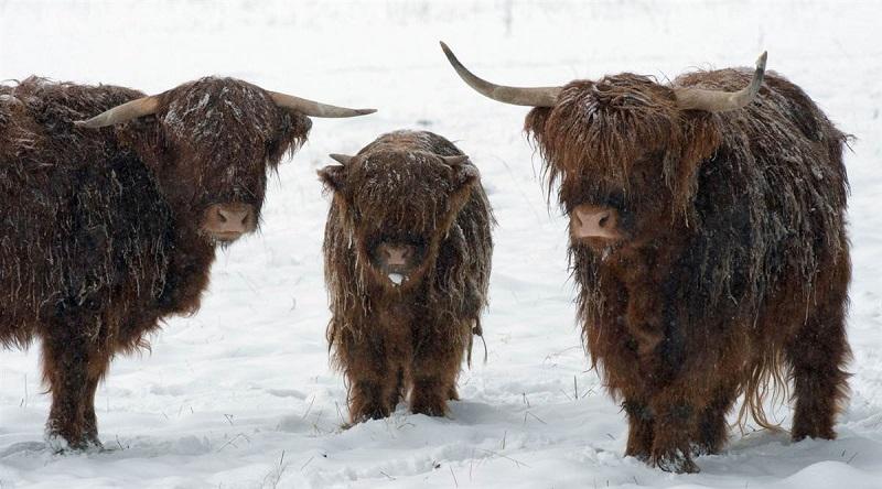 Шотландские коровы зимой