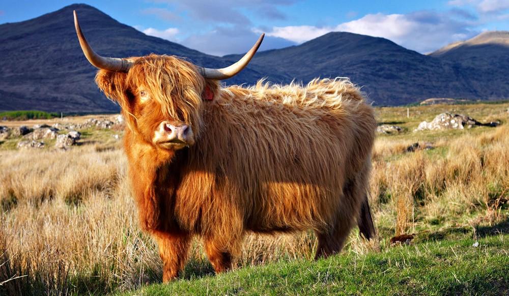 Шотландская корова гуляет