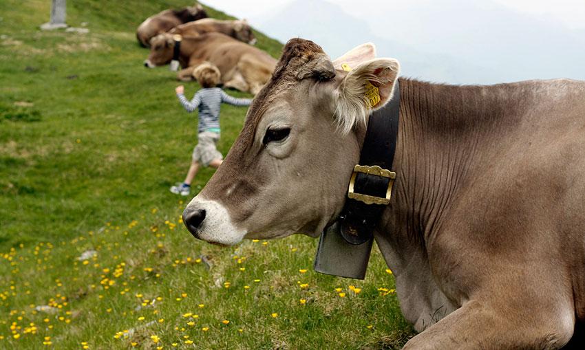 Швицкие коровы отдыхают