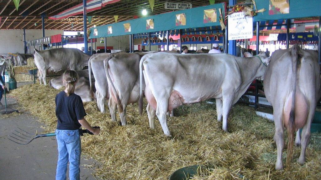 Содержание бурой коровы