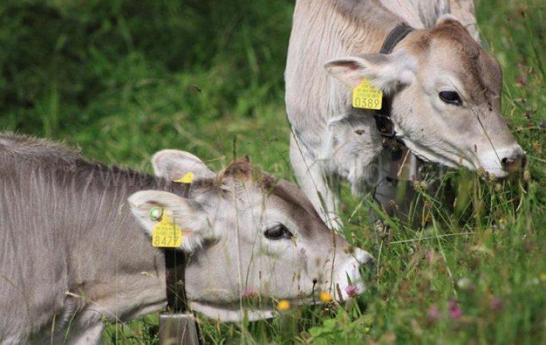 Телята кушают траву