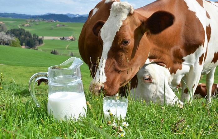 Коровье молоко на лугу с коровами