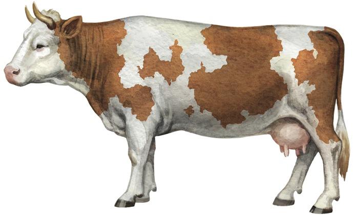 Внешний вид сычевской коровы