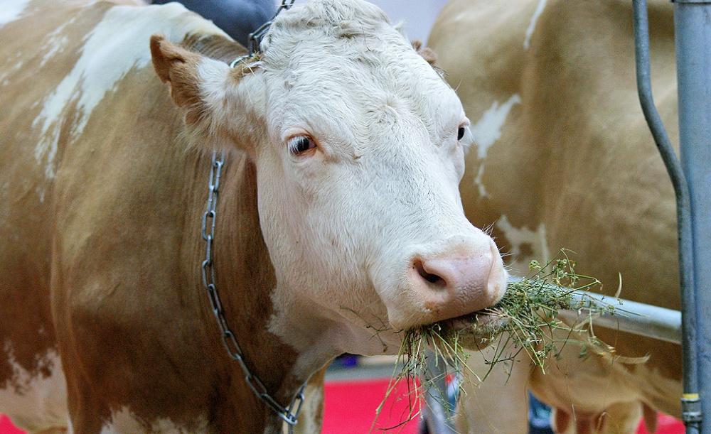 Сычевская корова жует сено