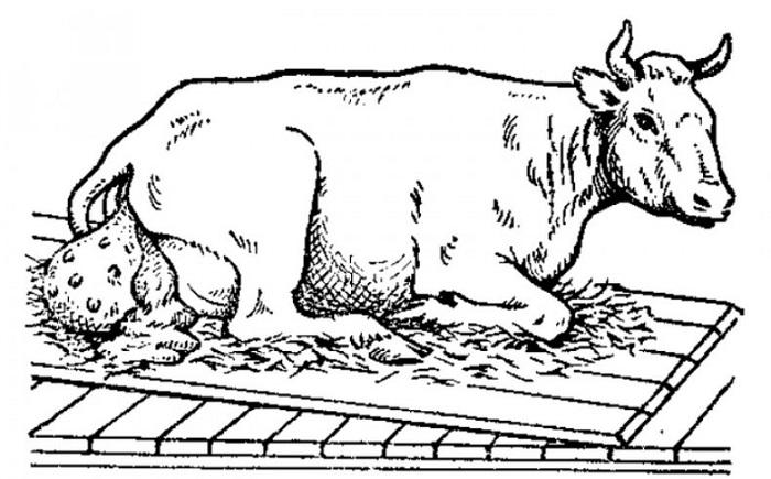 У коровы выпало влагалище