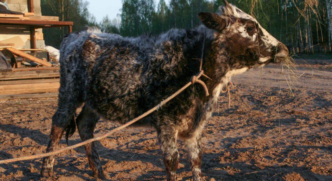 Корова на привязи