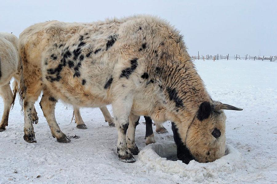 Якутская корова пьет с проруби