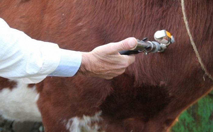 Прививка корове