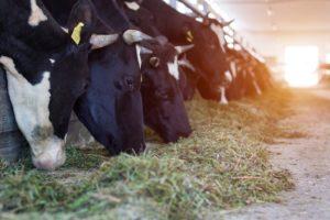 Диктиокаулез у коров