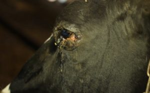 Симптоматика ринотрахеита у коров