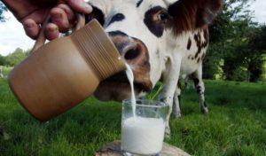 Когда появляется молоко у коровы