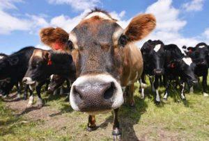 Клостридиоз у крупнорогатого скота