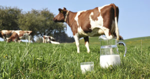 Почему у коровы мало молока