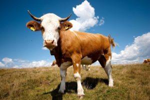 Сколько весит теленок