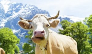 У коровы нет жвачки