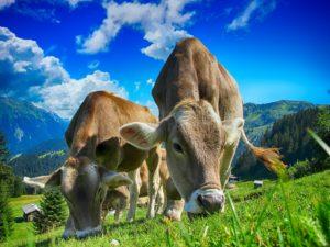 ЭМКАР крупнорогатого скота