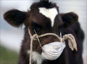 Ящур у коров