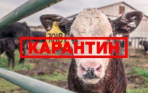 Карантин при катаральной горячки у коровы
