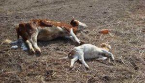 Изменения после смерти животного