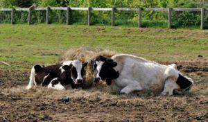 Развитие финноза у животных