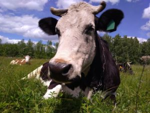 Лишай у коровы
