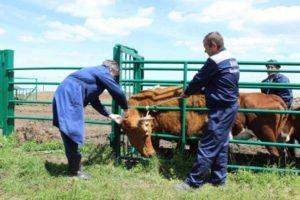 Диагностика телязиоза у коров