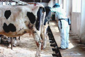 Периметрит у коров