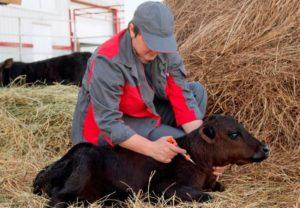 Лечение кашля у коровы