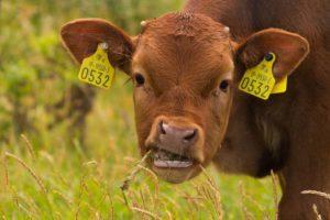 Процесс принятия пищи у коровы