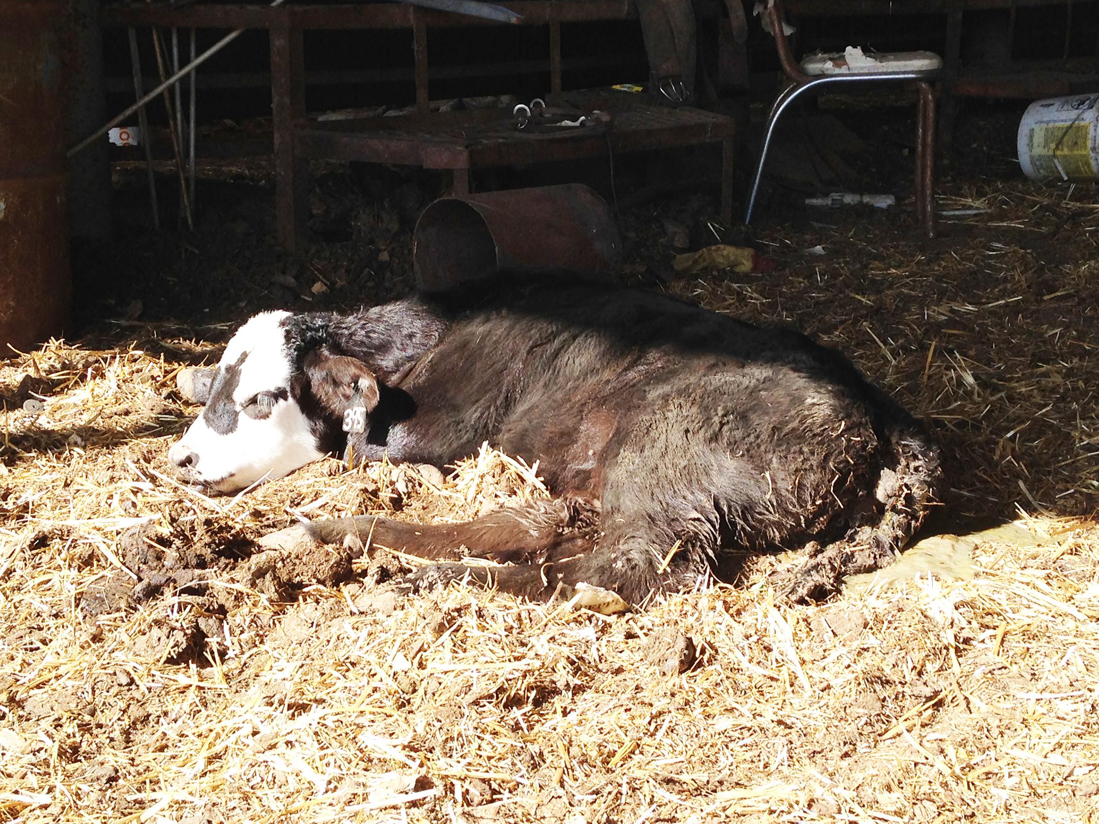 Диарея у теленка