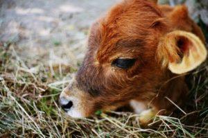 Почему кашляют телята и коровы