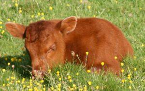 Причины скрипов зубами теленка