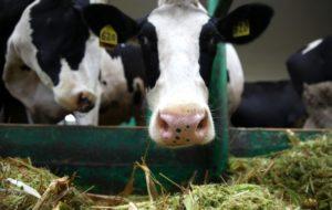 Лактационный период у коровы