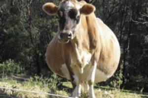Норма и допустимые отклонения беременности у коровы