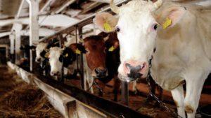Как происходит заражение коров