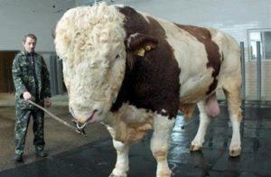 Подольский бык