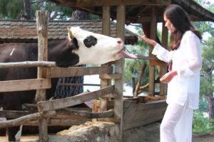 Диагностика болезни у коровы