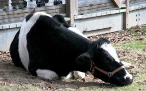 Ослабленный иммунитет у коровы