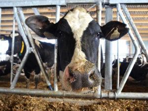 Качество содержания влияет на обьем молока